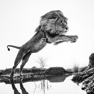 LION KING by David Yarrow